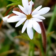 """Lithophragma parviflorum - Photo by Don Delany"