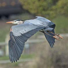 Great Blue Heron Photo by Don Delany