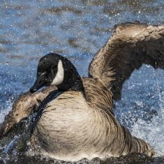 Canada Goose Photo by Ross MacDonald
