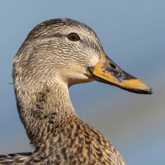 Female Mallard Photo by Ross MacDonald