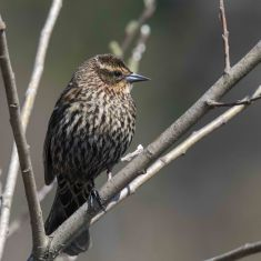Female Redwinged Blackbird Photo by Ross MacDonald