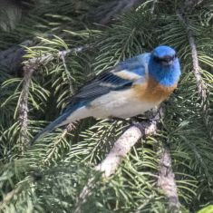 Lazuli Bunting Photo by Ross MacDonald