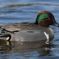 Male Green Winged Teal Photo by Ross MacDonald