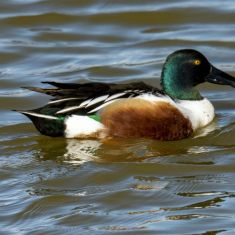 Male Northern Shoveler Photo by Ross MacDonald