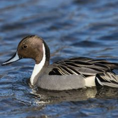 Male Pintail Photo by Ross MacDonald