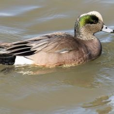 Male Wigeon Photo by Ross MacDonald