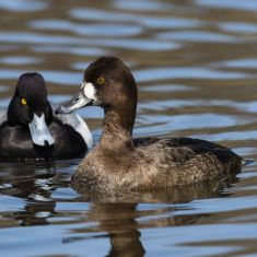 Male and Female Lesser Photo by Ross MacDonald