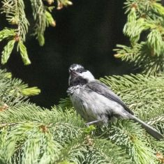 Mountain Chickadee Photo by Ross MacDonald
