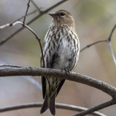 PIne Siskin Photo by Ross MacDonald