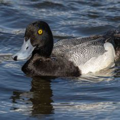 Scaup Photo by Ross MacDonald