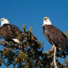 Bald Eagles Photo by Ross MacDonald