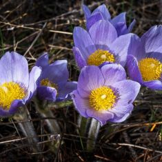 Spring Croci, Photo by Pat Morrow