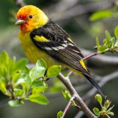 Western Tanager Photo by Ross MacDonald