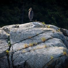 Heron -  Photo by Ross MacDonald