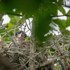Baby Heron- Photo by Ross MacDonald