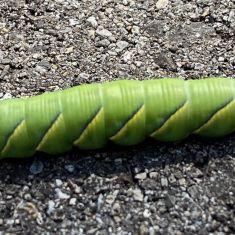 Hornworm, Sphinx Moth Caterpillar.  Photo by Larry Halverson