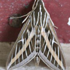Hummingbird Moth Photo by Larry Halverson
