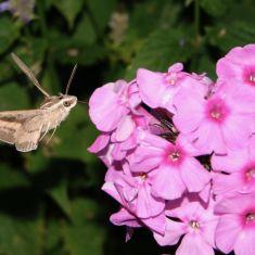 Hummingbird Moth Hovering Photo by Larry Halverson