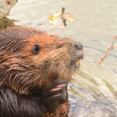 Beaver scratching his chin.
