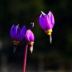 Few-Flowered Shooting Star