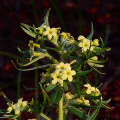Lemonweed