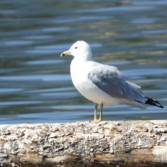 Ringed Bill Gull Photo by Don Delaney