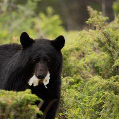 Black Bear  Photo by Denise Hoffgaard