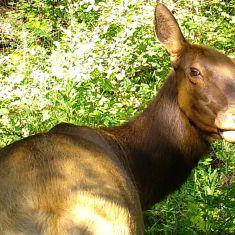 Elk Photo by Katherine Friedley