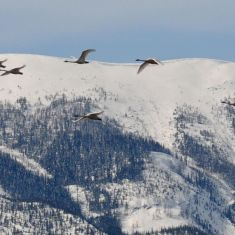 February -  migrating swans  Photo by Larry Halverson