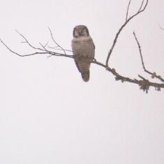 Hawk Owl - Photo by Larry Halverson