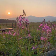 2021 smoky sunset highlights fireweed Heather Fischbuch