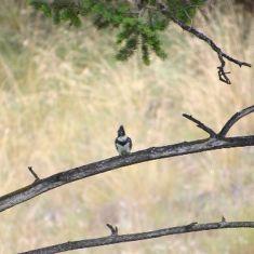 Kingfisher in the Columbia Wetlands - Photo by Hilda Jensen