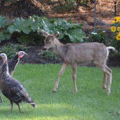 Wild turkeys and deer Photo by Larry Halverson