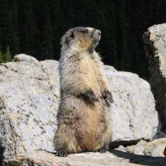 Hoary Marmot Photo by Larry Halverson
