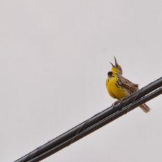 Meadowlark - wind blowing his black bib off  Photo by Larry Halverson