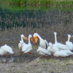 Pelicans  Photo by Verena Shaw