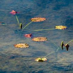 Pond Lilies Wilmer Wetlands Photo by Ross MacDonald