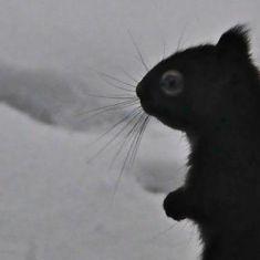 Red Squirrel Photo by Larry Halverson