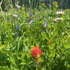 Wildflower meadow in the Rockies Photo by Hilda Jensen